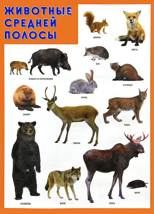 Животные средней полосы. Плакат