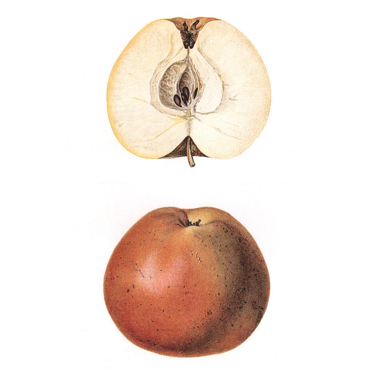 Атлас плодов