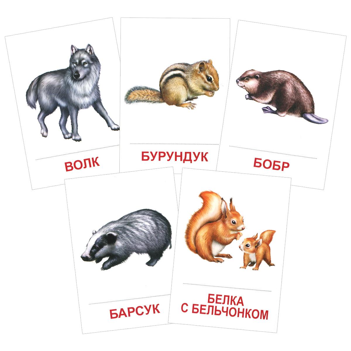 Дикие животные (набор из 16 карточек)12296407Карточки для развития ребенка станут незаменимым помощником при знакомстве малышей с окружающим миром. В этот набор вошли карточки с фотографиями диких животных: бобра, белки, барсука, змеи, ежа и других. В наборе 16 карточек из картона с красочными запоминающимися картинками и подписью под каждым рисунком. Размер карточки: 8,7 см х 6,3 см.