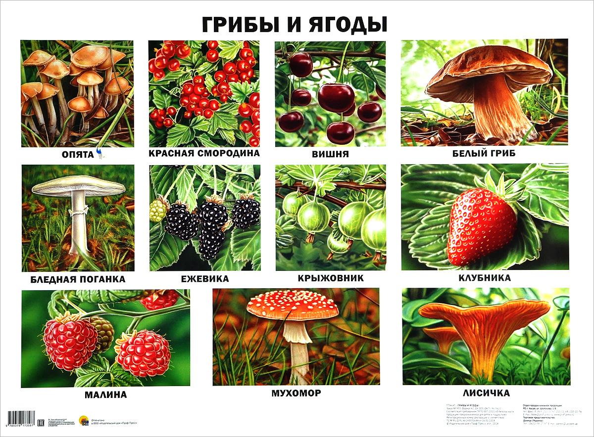 Грибы и ягоды. Плакат