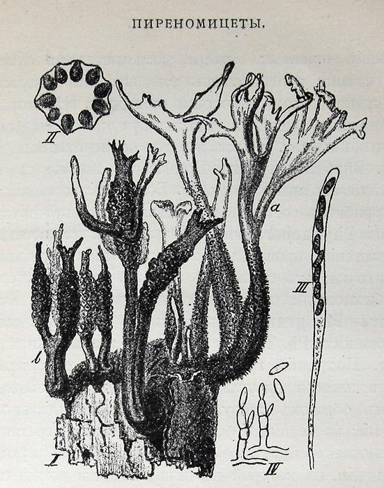 Краткий очерк микологии, с указанием грибов наиболее вредных в сельском хозяйстве и лесоводстве