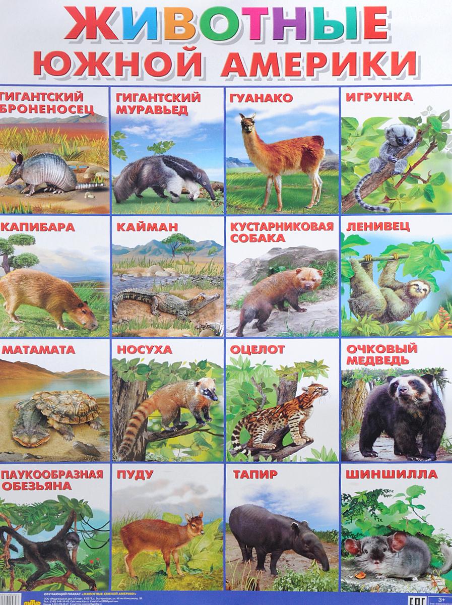 Животные Южной Америки. Плакат