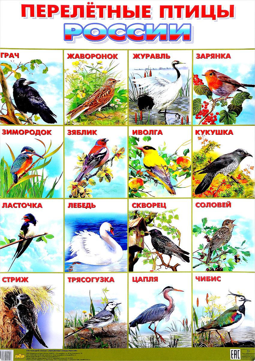 Перелетные птицы России. Плакат