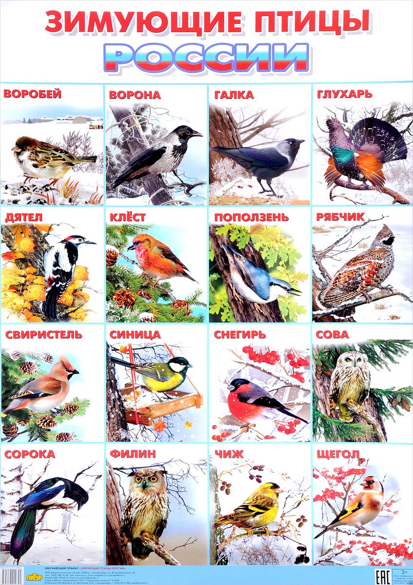 Литур.Плакат.Зимующие птицы Росии (550х774 мм) (3+)
