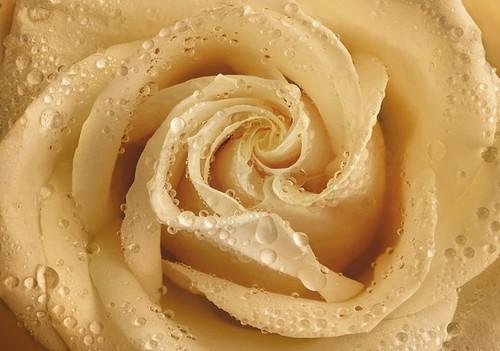 Фотообои Твоя Планета Premium. Утренняя роза, 4 листа, 194 х 136 см4607161056301Основа фотообоев Твоя Планета Premium. Утренняя роза - импортная бумага высокого качества и повышенной плотности с нанесенным на неё цветным фотоизображением. Технология сборки фрагментов в единую картину довольно проста. Это наиболее распространенный вид обоев, позволяющих создать в квартире (комнате) определенное настроение и даже несколько расширить оптический объем. Фотообои пользуются популярностью потому, что они недорогие и при этом позволяют получить массу удовольствий при созерцании изображения. Количество листов: 4. Размер (ШхВ): 194 см х 136 см.