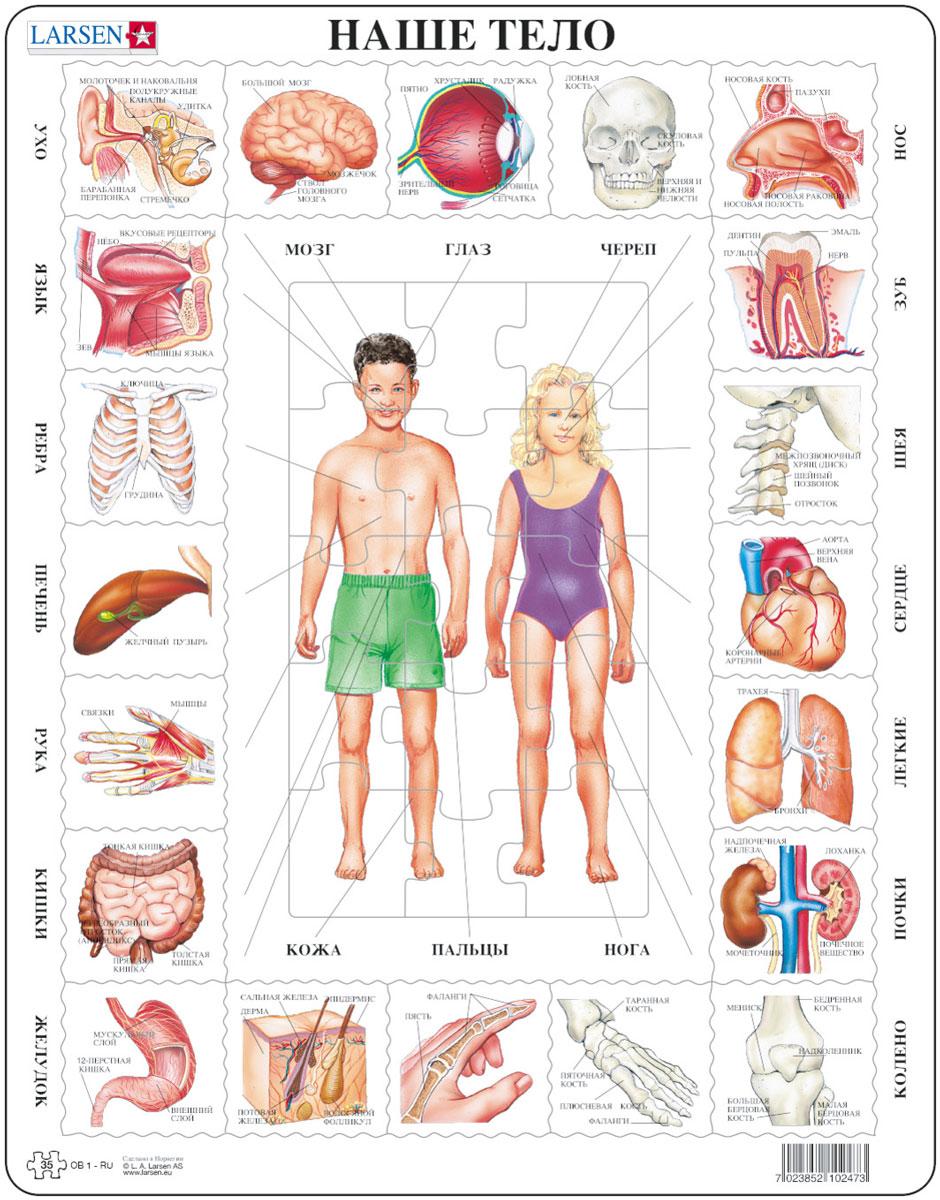 Larsen Пазл Наше телоOB1Пазлы Ларсен направлены, прежде всего, на обучение. Пазл Larsen Наше тело рассказывает о строении человеческого тела. Детям нужно сначала собрать картинку в центре, а затем, ориентируясь на стрелки найти нужные органы и вставить их по контуру. Подсказкой служат напечатанные на внешней и внутренней рамке названия тех или иных органов. Выполненные из высококачественного трехслойного картона, пазлы не деформируются и легко берутся в руки. Все пазлы снабжены специальной подложкой, благодаря чему их удобно собирать. Размер готового пазла: 36,5 см х 28,5 см.