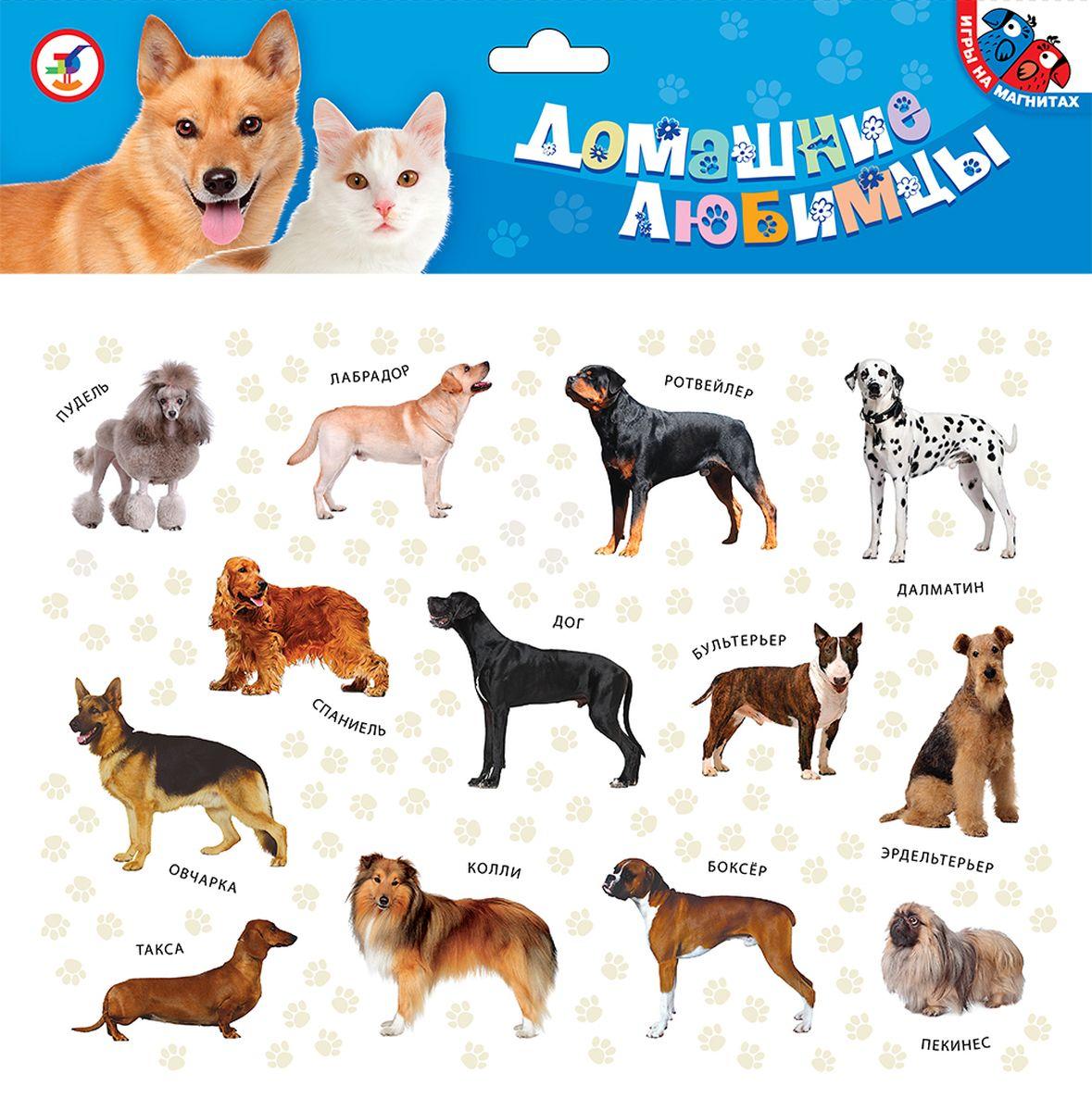 Дрофа-Медиа Игра на магнитах Домашние любимцы2С помощью магнитной игры Домашние любимцы, ребенок познакомится с 13 наиболее популярными породами кошек и 13 породами собак. Ребенок может взять фигурку понравившегося животного и прикрепить к металлической поверхности (дверце холодильника или магнитной доске). Все породы подписаны. Карточки на магнитах прекрасно подходят для обучения и развития детей, как дома, так и в детском саду или школе. Простые игровые элементы дают возможность ребенку самостоятельно придумывать варианты игры. В комплекте 26 карточек.