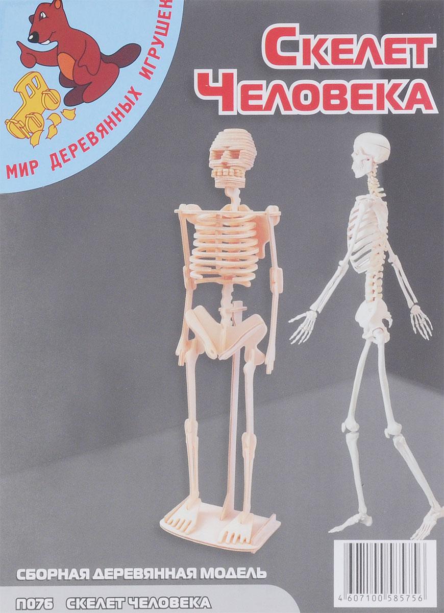 Мир деревянных игрушек Деревянная модель Скелет человекаП076Деревянная модель Игрушки из дерева Скелет человека выполнена из экологически чистой древесины, не содержит формальдегид. Детали модели выдавливаются из фанерной доски и собираются согласно инструкции. Лучше всего проклеивать места соединения клеем сразу при сборке, так собранная вами модель будет дольше радовать вас. Вы можете раскрасить вашу модель, используя любые краски. В этом случае нужно заранее продумать как общий дизайн модели, так и окраску каждой детали. При сборке модели развивается моторика рук, усидчивость, внимательность, пространственное и абстрактное мышления. Производитель рекомендует использовать темперные краски. После можно покрыть лаком.