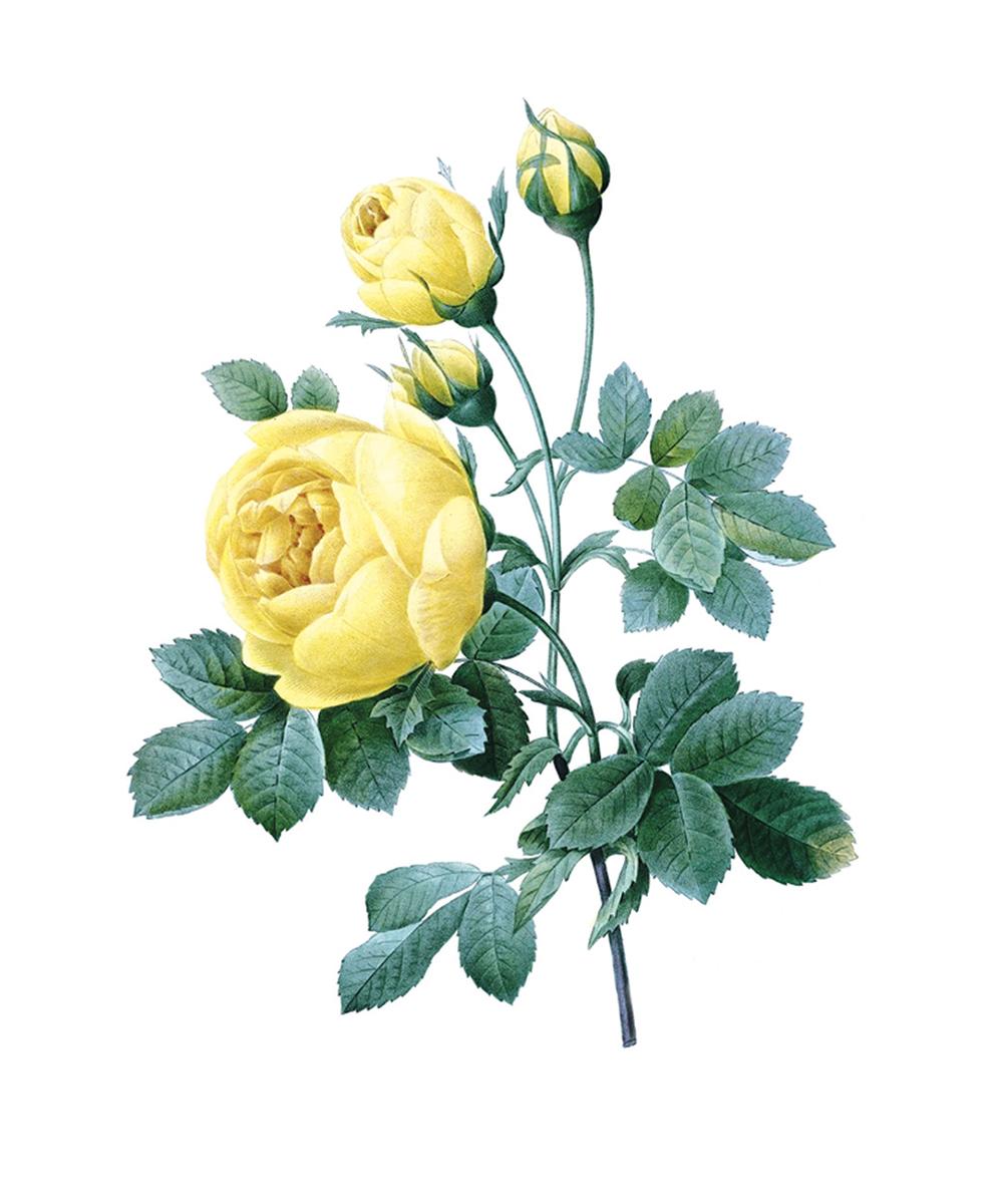 Принт для вышивания Zengana Желтая роза, 12 х 15 см276-ZENGANAПринт на ткани (габардин высокого качества) предназначен для объемной вышивки (лентами, гладью, бисером). Картина напечатана на профессиональном оборудовании, не выгорает, при стирке не линяет.