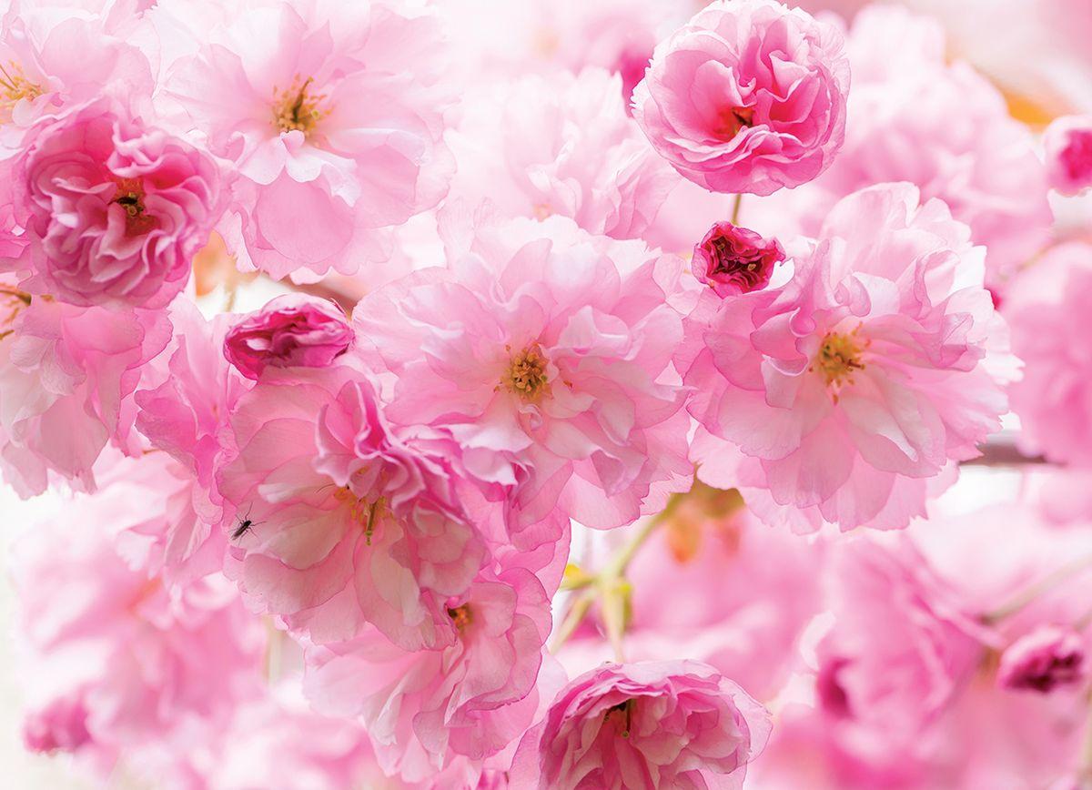 Фотообои PosterMarket Весенняя сакура в цвету, размер 254 х 184WM-12Сакура — известный символ Японии и японской культуры — с давних пор почитаемое японцами растение. Сакура — традиционный символ женской молодости и красоты. В Японии вишнёвый цвет символизирует облака благодаря тому, что множество цветов сакуры часто цветёт разом.