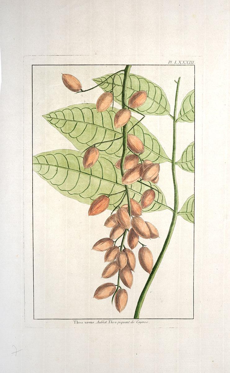 Thoa urens. Гравюра, ручная раскраска. Западная Европа, вторая половина XVIII векаНВА 170816-28Резцовая гравюра на меди, раскрашенная вручную, второй половины XVIII века. Неизвестный художник. Размер листа: 45 х 28 см. Размер изображения: 30 х 19 см. Сохранность хорошая. Гравюра с изображением растения Thoa urens из рода Гнетум, который состоит примерно из 40 видов деревьев и лиан, распространенных в тропических регионах. Не подлежит вывозу за пределы Российской Федерации.