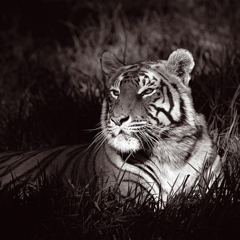 Картина Postermarket Бенгальский тигр ч/б, 30 х 30 см. AG 30-43AG 30-43