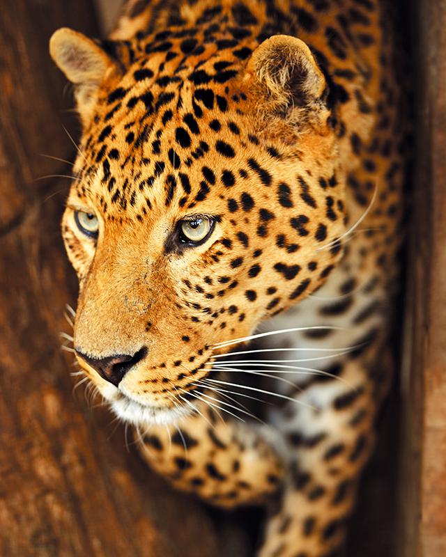 Картина Postermarket Леопард, 40 х 50 см. AG 40-20AG 40-20