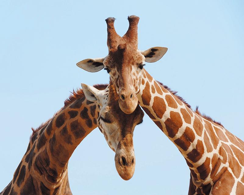 Картина Postermarket Жирафы, 40 х 50 см. AG 40-21AG 40-21