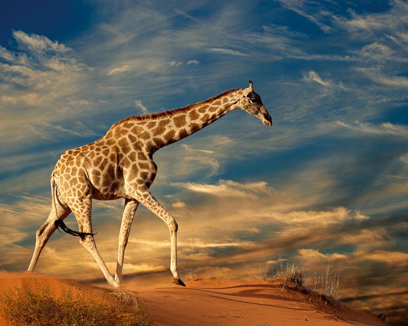 Картина Postermarket Жираф, 40 х 50 см. AG 40-49AG 40-49