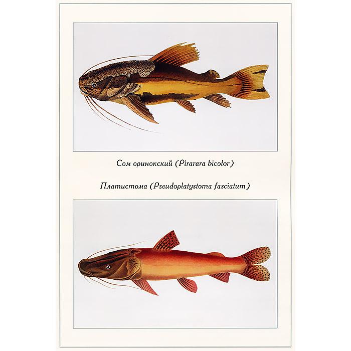 Экзотические рыбы Л. Агассиз
