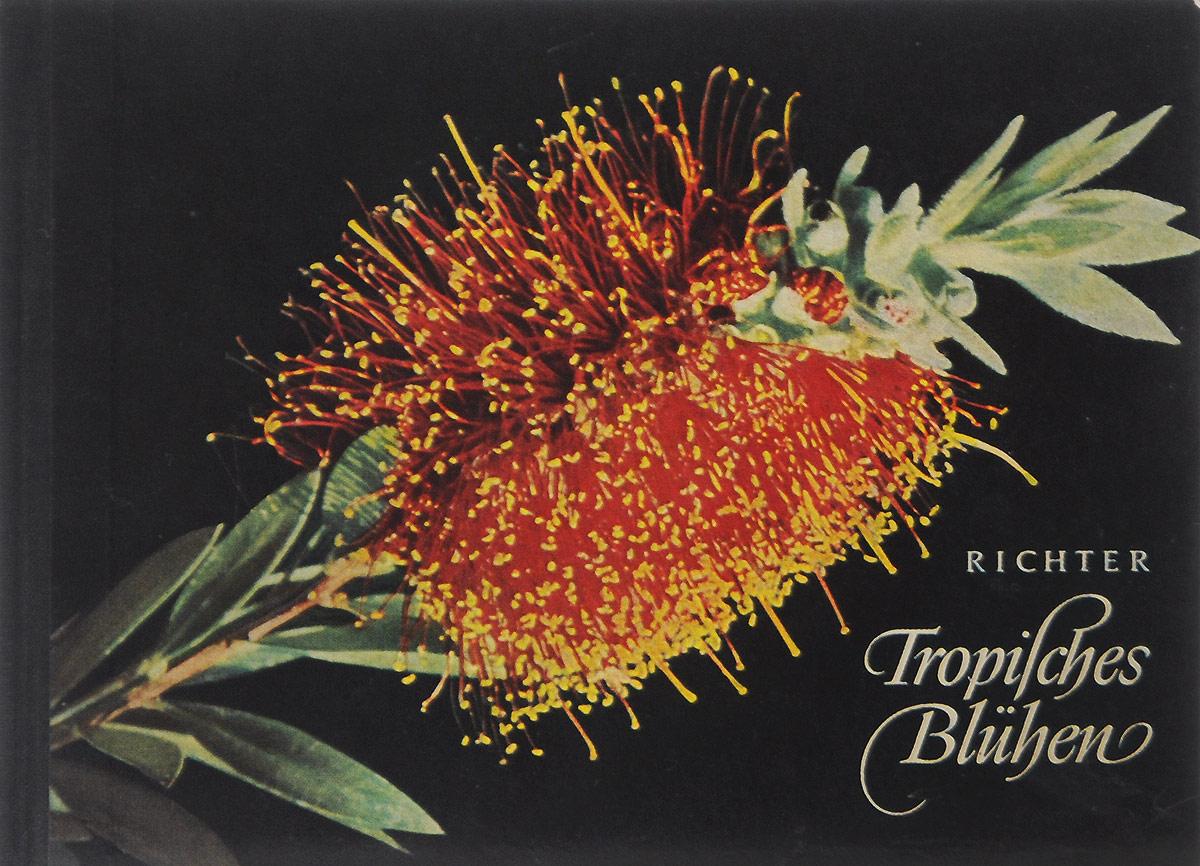 Tropisches Bluhen791504Letzte Umschlagseite: Aphelandra tetragona Nees. Acanthaceae, Barenklaugewachse Heimat: Sudamerika. Diese Gattung umfasst eine Reibe glanzvoller Erscheinungen, wie die abgebildete sie ebenfalls darstellt. Sic wachsen strauchartig, etwas sparrig und entwickeln im Sommer bis Fruhherbst ihre herrlichen Blutenstande.