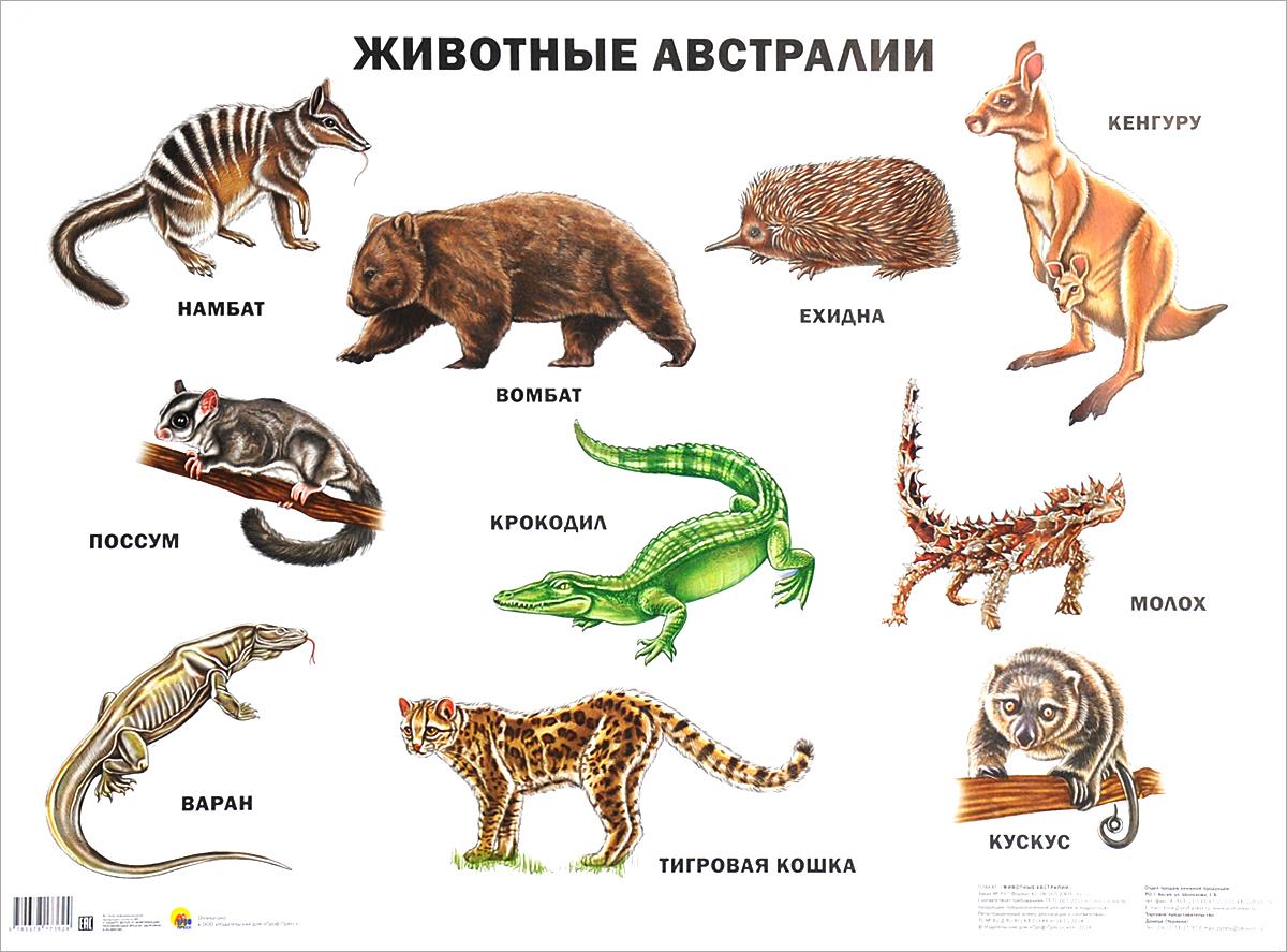 Животные Австралии. Плакат ( 978-537-817-36-24 )