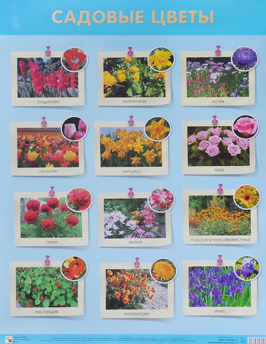Садовые цветы. Плакат12296407Плакат большого формата Садовые цветы познакомит детей с различными видами садовых цветов. Четкие, яркие фотографии обязательно заинтересуют ребят и помогут усвоить новые знания. Наглядный материал может быть использован на занятиях по ознакомлению с окружающим миром, для развития речи и мышления.