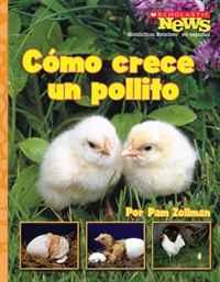 Como Crece un Pollito/ A Chick Grows Up (Scholastic News Nonfiction Readers En Espanol)