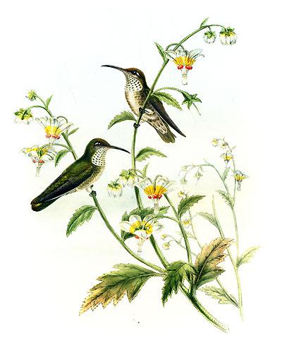 Колибри (подарочное издание)
