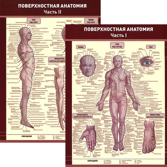 Поверхностная анатомия. В 2 частях. Плакат