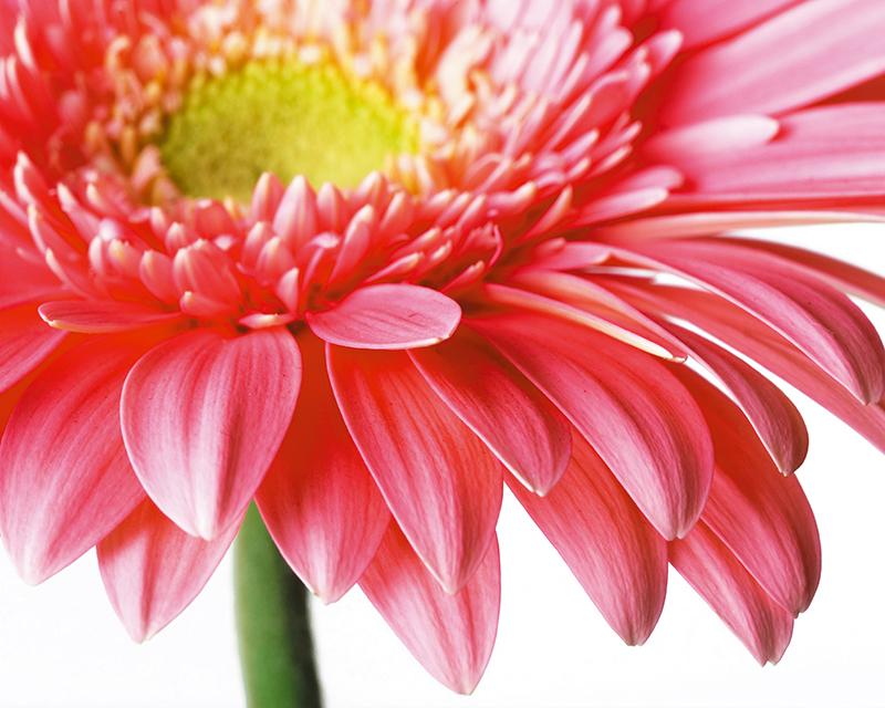 Картина Postermarket Цветок Герберы, 40 х 50 см. AG 40-06AG 40-06