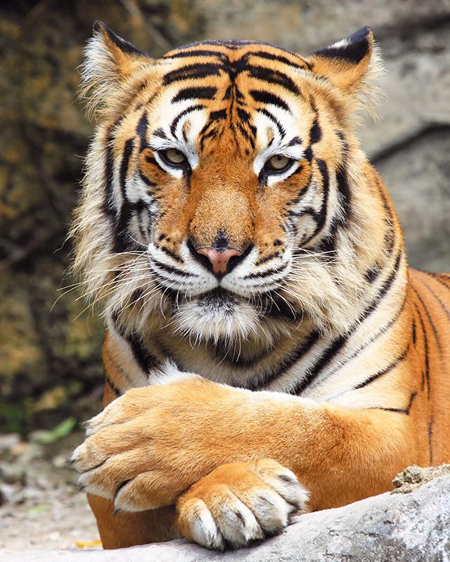 Картина Postermarket Бенгальский тигр, 40 х 50 смUP210DFКартина Postermarket Бенгальский тигр прекрасно подойдет для декора интерьера различных помещений. Постер представляет собой изображение автомобиля, выполненное в технике фотопечать. Картина для интерьера (постер) - это современное и актуальное направление в дизайне помещений. Ее можно использовать для оформления любых помещений (дом, квартира, офис, бар, кафе, ресторан или гостиница). работоспособность. Правильное оформление интерьера создает благоприятный психологический климат, улучшает настроение и мотивирует.Размер картины: 400 x 500 мм.