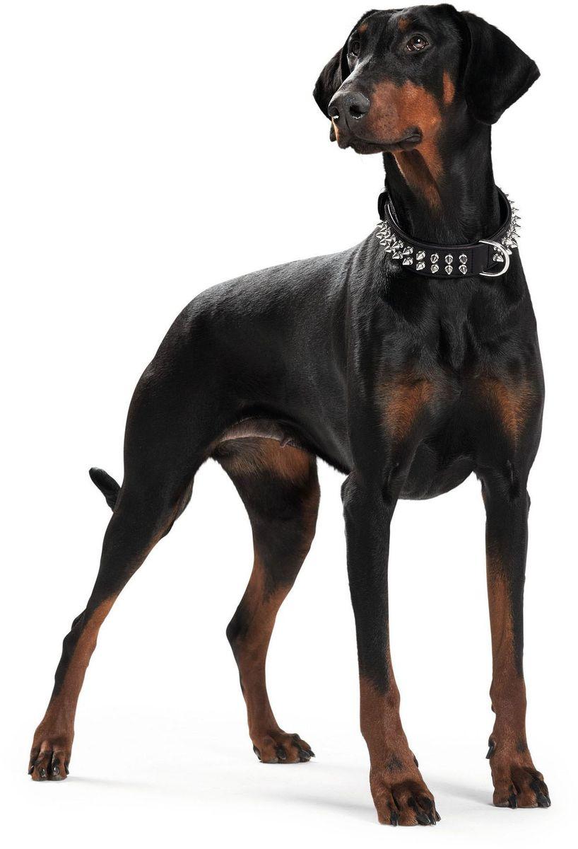 Ошейник Hunter Rambo 70, кожа, для собак, размер: 56-63 см, цвет: черный0120710Двуслойный ошейник Rambo с подвернутыми краями для собак крупных пород. Изготовлен из натуральная телячьей кожи, черного цвета с агрессивной стильной хромированной фурнитурой в виде шипов. Подходит для собак с обхватом шеи 56-63,5 см. Ширина ошейника 3,9 см.
